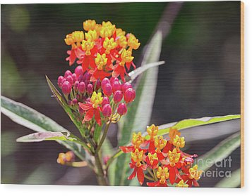 Milkweed Silky Deep Red Wood Print by Louise Heusinkveld