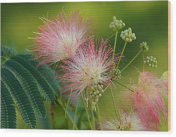 Mimosa  Up Close Wood Print