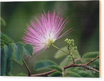 Mimosa1 Wood Print by Steven Foster