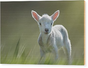 Minnie The Spring Lamb Wood Print