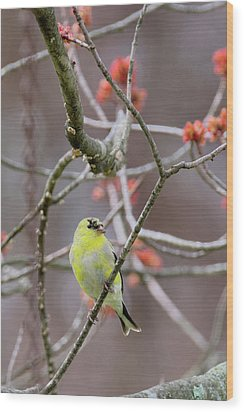 Wood Print featuring the photograph Molting Gold Finch by Bill Wakeley