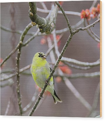 Wood Print featuring the photograph Molting Gold Finch Square by Bill Wakeley