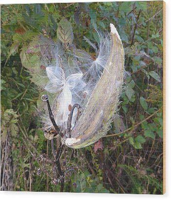 Wood Print featuring the photograph Moment In The Life Of A Milkweed by Joel Deutsch