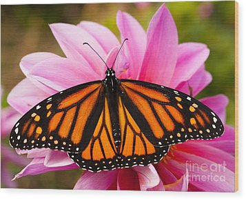 Monarch And Dahlia Wood Print