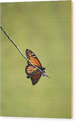 Monarch And Natural Green Canvas Wood Print by Carol Groenen