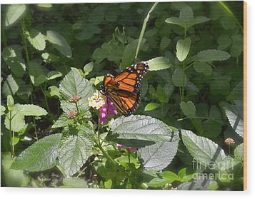Wood Print featuring the photograph Monarch Butterfly Feeding by Carol  Bradley