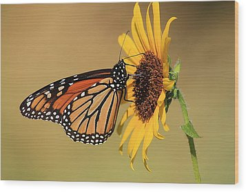 Wood Print featuring the photograph Monarch Butterfly On Sun Flower by Sheila Brown