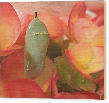 Monarch Chrysalis  Wood Print by Nancy TeWinkel Lauren