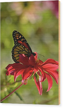 Wood Print featuring the photograph Monarch On Red Zinnia by Ann Bridges