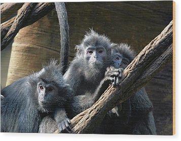 Monkey Trio Wood Print by Karol Livote
