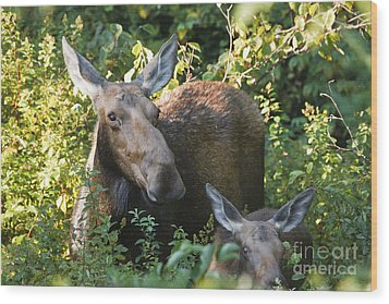 Moose - White Mountains New Hampshire  Wood Print