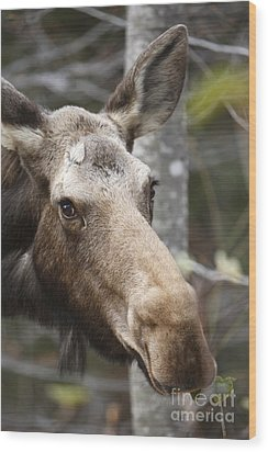 Moose - White Mountains New Hampshire Usa Wood Print by Erin Paul Donovan