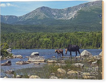 Moose Baxter State Park Maine 2 Wood Print
