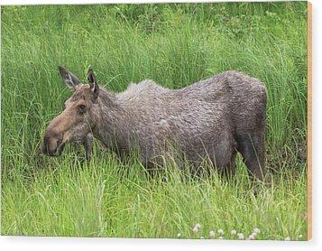 Moose In Tall Grass Wood Print