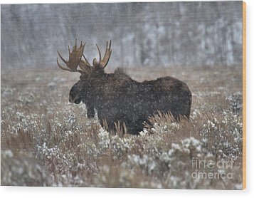 Wood Print featuring the photograph Moose In The Snowy Brush by Adam Jewell