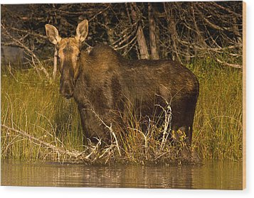 Moose Of Prong Pond Wood Print by Brent L Ander