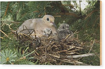 Morning Dove And Two Babys #2 Wood Print
