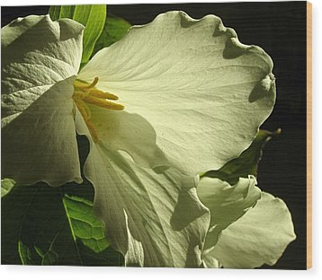 Morning Light - Trillium Wood Print by Angie Rea