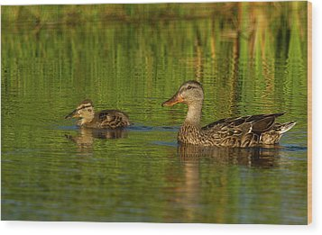 Mother And Child Mallards Wood Print by Jean Noren