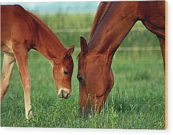 Mother And Foal 3377 H_2 Wood Print