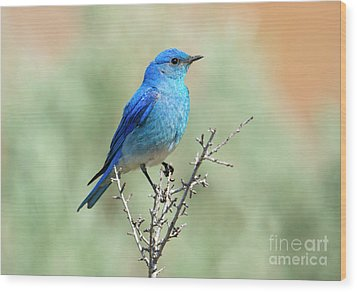 Mountain Bluebird Beauty Wood Print by Mike Dawson