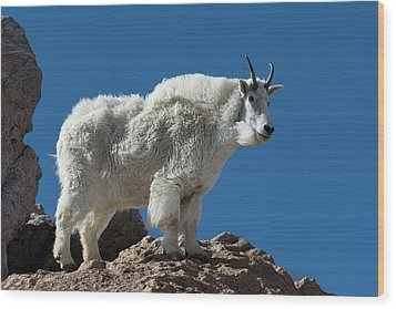 Wood Print featuring the photograph Mountain Goat 2 by Gary Lengyel