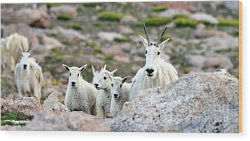 Wood Print featuring the photograph Mountain Goat Family Panorama by Scott Mahon