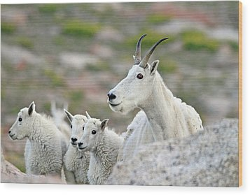 Wood Print featuring the photograph Mountain Goat Family by Scott Mahon