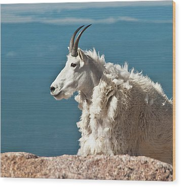 Mountain Goat King Of Mount Evans Wood Print by Harry Strharsky