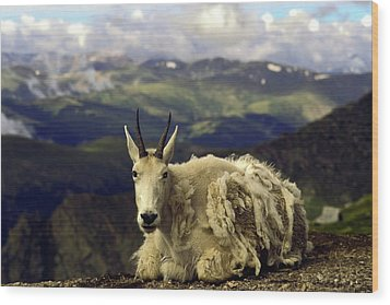 Mountain Goat Resting Wood Print by Sally Weigand