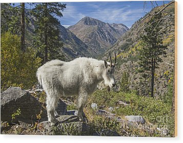 Mountain Goat Sentry Wood Print