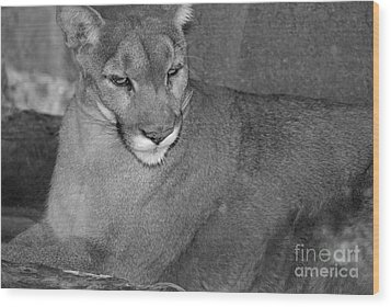 Wood Print featuring the photograph Mountain Lion - Sonoran Desert Museum  by Donna Greene