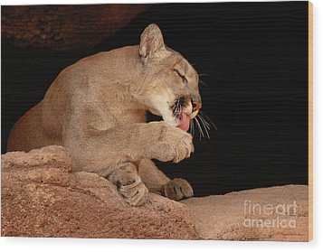Mountain Lion In Cave Licking Paw Wood Print