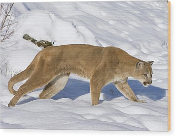 Mountain Lion Puma Concolor Hunting Wood Print by Matthias Breiter