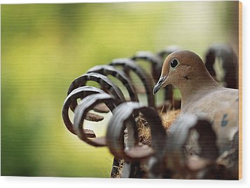 Wood Print featuring the photograph Mourning Dove In A Flower Planter by Debbie Oppermann