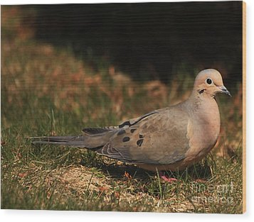 Mourning Dove Spring 2012 Wood Print by Marjorie Imbeau
