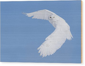 Mr Snowy Owl Wood Print by Mircea Costina Photography