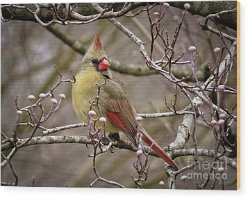 Wood Print featuring the photograph Mrs Cardinal II by Douglas Stucky