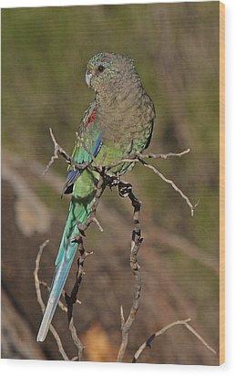 Mulga Parrot Female Wood Print