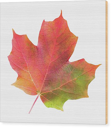 Wood Print featuring the photograph Multicolored Maple Leaf by Jim Hughes