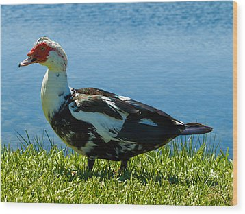 Muscovy Ducks Are Butt-ugly Wood Print by Allan  Hughes