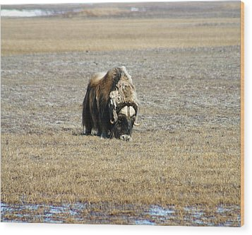Musk Ox Grazing Wood Print by Anthony Jones