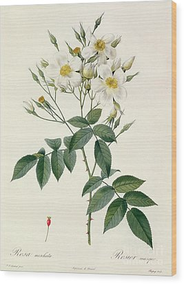 Musk Rose Wood Print by Pierre Joseph Redoute