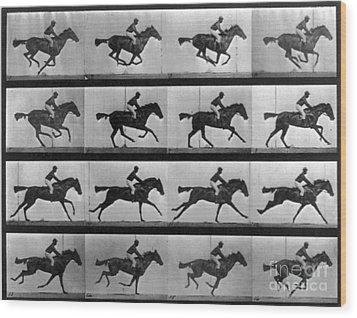 Muybridge Locomotion Racehorse Wood Print by Photo Researchers