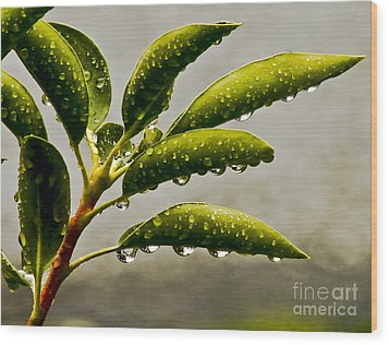 Early Morning Raindrops Wood Print by Carol F Austin