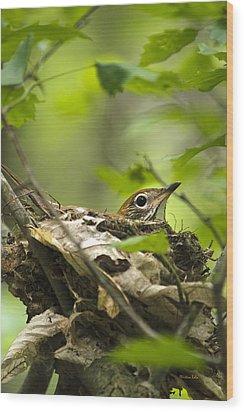 Nesting Birds - Wood Thrush Wood Print by Christina Rollo