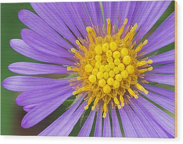 New England Aster Wood Print