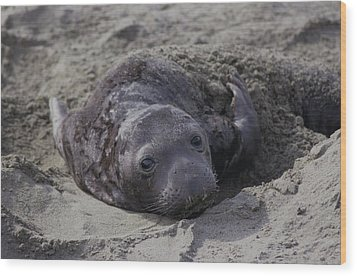 Newborn Northern Elephant Seal Pup Wood Print