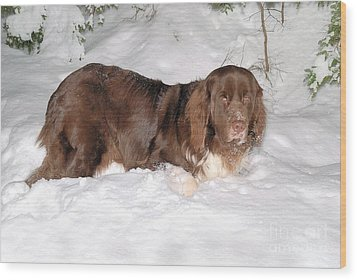 Wood Print featuring the photograph Newf In Snow by Debbie Stahre