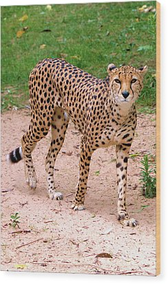 North African Cheetah Wood Print